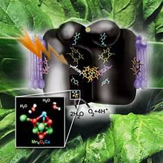 Общая схема фотосинтеза и один из предполагаемых вариантов структуры OEC (иллюстрация с сайта lbl.gov).
